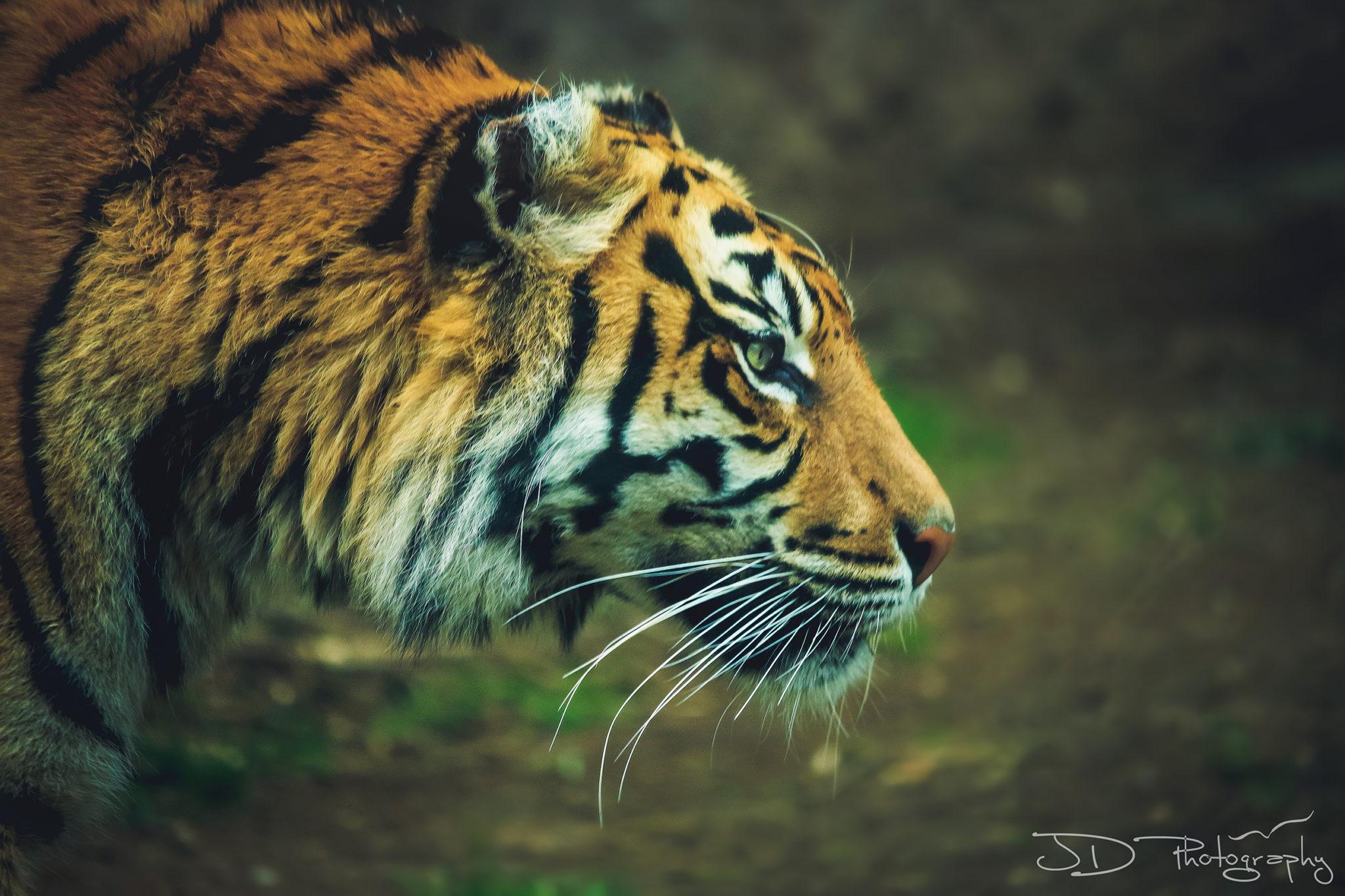 rome-tiger-1-final-WM