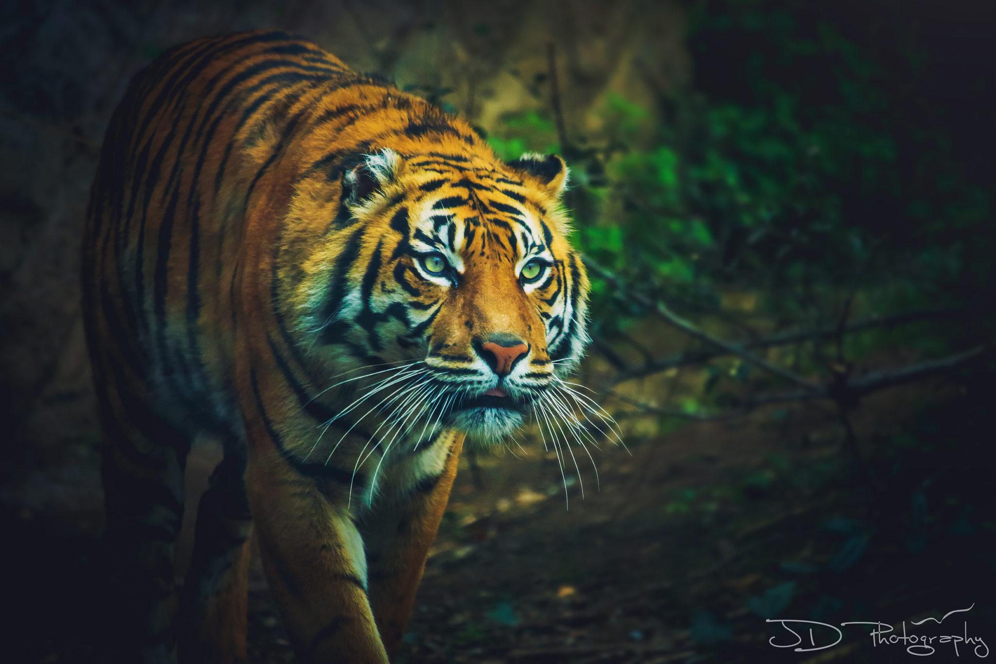 rome-tiger-5-final-WM