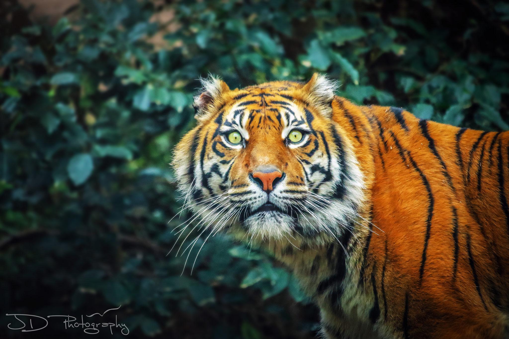 rome-tiger-9-final-WM